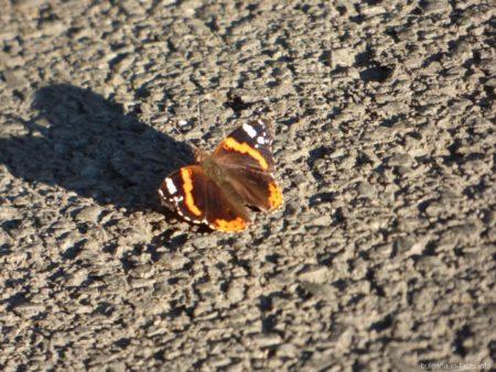 Бабочка Болгарии