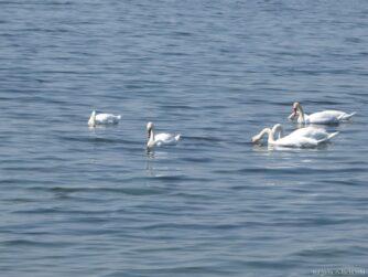 Белые лебеди на Поморийском озере