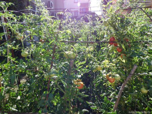 Болгарские помидоры в Несебре