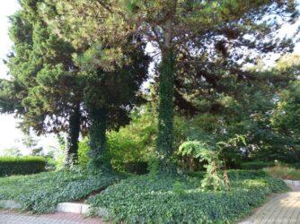 Деревья обвитые плющом в Несебре