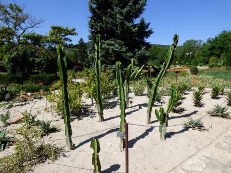 Кактусы на поляне