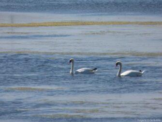 Лебеди в Поморийском озере