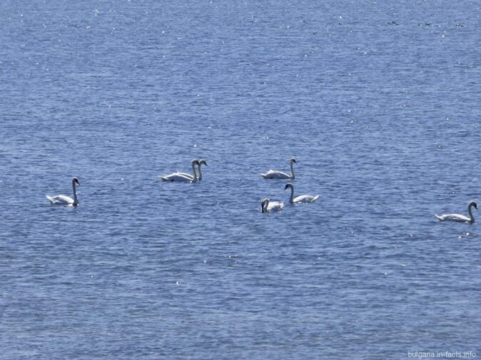 Лебеди в водах Поморийского озера
