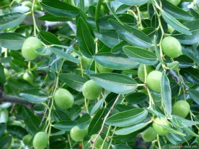 Оливки в Болгарии