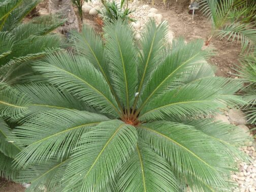 Пальма в ботаническом саду