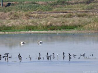 Пеликаны на озере