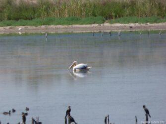 Пеликан на озере