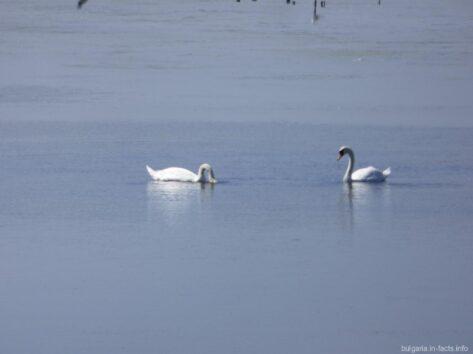 Поморийское озеро с лебедями