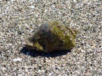 Ракушка на косе на окраине Помория