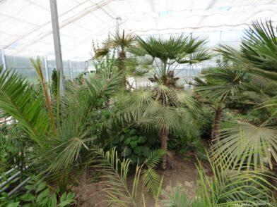 Роскошные пальмы в теплице