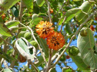 Странные деревья в Ахелое