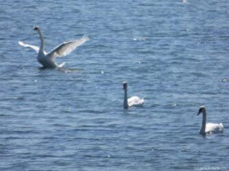 Трое лебедей на Поморийском озере