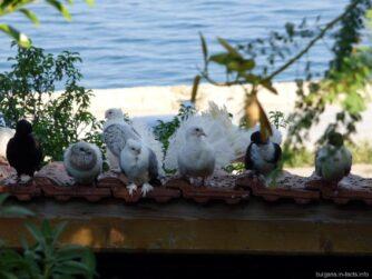 Утонченные голуби