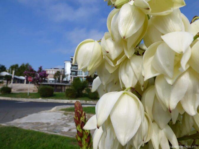 Цветок пальмы в Несебре