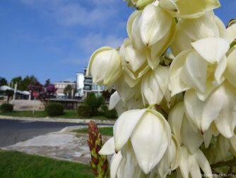 Цветущие растения Несебра