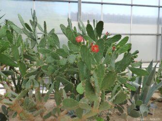 Цветы на кактусах в бот саде Балчика
