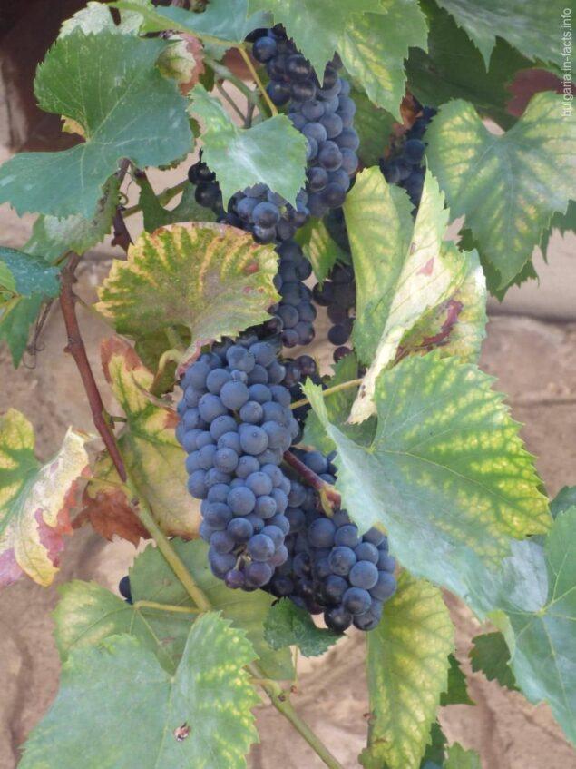 Ветка винограда из Несебра