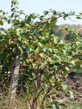 Как растут киви в Болгарии