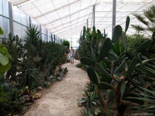 Огромные кактусы в теплице Балчика