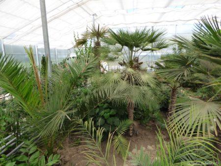 Пальмы в ботсаду Балчика