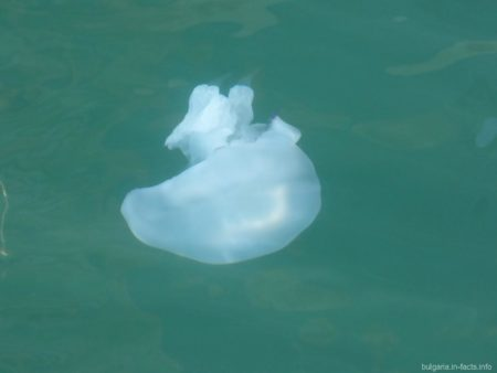 Медуза возле берегов Несебра